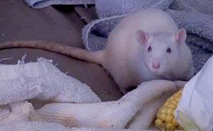 Råttor på fina gatan. Bild från video