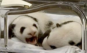 Se de nyfödda pandatvillingarna. Bild från video